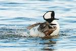 Drake hooded merganser bathing on November pond