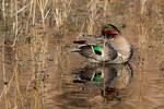 Drake green-winged teal preening on December pond