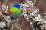 Painted bunting a celebrity in New York City