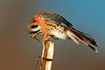 Male American kestrel with insect