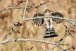 Adult sharp-shinned hawk landing on budding tree in late autumn, accipiters