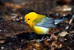 Prothonotary warbler in spring