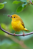 Yellow warbler with insects in spring