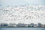 Atlantic brant flock flight at Broad Channel