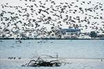 Atlantic brant flock flight at Broad Channel