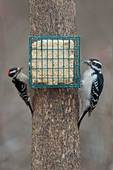 Downy and hairy woodpecker size comparison