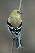 Male American goldfinch in winter plumage