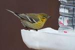 Pine warbler at winter feeder