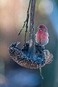 Male house finch in winter