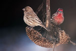 a pair of house finches in mid-January