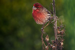 Male house finch in backyard garden
