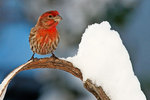 Male house finch after snow storm
