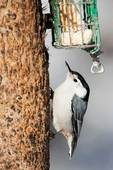 White-breasted nuthatch at winter suet feeder