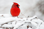 Male northern cardinal in February