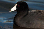 American coot up close