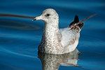 Ring-billed gull on pond