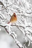 Female cardinal in winter hackberry tree