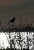 Red-winged blackbird silhouette in early March
