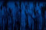 Salt marsh phragmites reeds at night