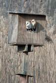 Adult male and female barn owl in nest box