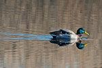 Drake mallard on March pond