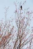 Red-winged blackbird and maple blossoms in late March