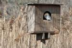 Barn owl in nest box