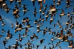 Atlantic brant flock in flight