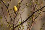 Male American goldfinch in April birch woods