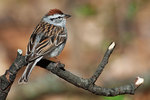 Chipping sparrow in late April