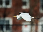Great egret flight in urban setting
