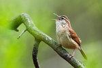 Carolina wren singing in late April
