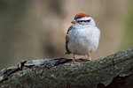 Chipping sparrow in April