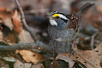 White-throated sparrow in late April