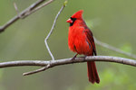 Male northern cardinal in late April