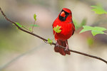 Male northern cardinal in spring woods
