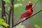 Two male northern cardinals in spring deciduous woods