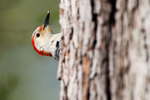 Female red-bellied woodpecker in spring woods