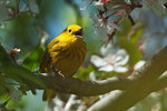 Yellow warbler singing in late April