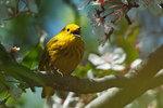 Yellow warbler singing in late April
