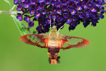 Hummingbird clearwing moth nectaring on butterfly bush