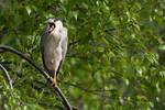 Adult black-crowned night heron yawning