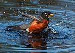 American robin bathing in spring