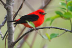Male scarlet tanager in early May