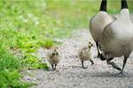 Canada geese goslings with parents