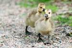 Canada goose goslings in spring