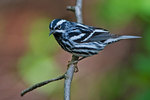 Male black and white warbler in spring migration