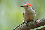 Female red-bellied woodpecker in spring