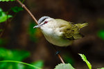 Red-eyed vireo in mid May