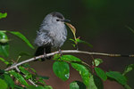 Gray catbird in spring